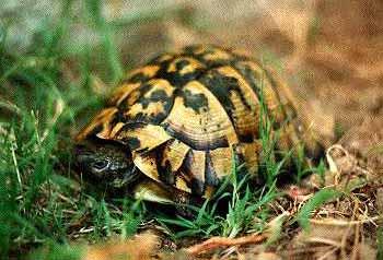 hermann s tortoise testudo hermanni by michael j connor