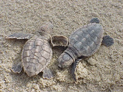 Loggerhead turtles