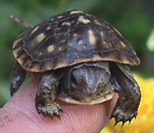 hatchling box turtle