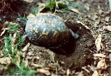 Nesting eastern box turtle
