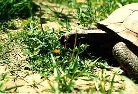 Desert Tortoise Care Sheet California Turtle Amp Tortoise Club