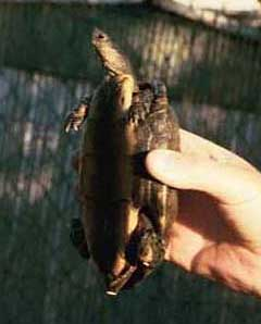 Honduran wood turtle male