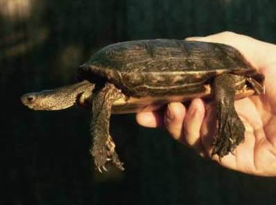 Honduran wood turtle