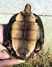 Honduran wood turtle male plastron