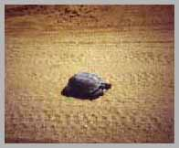 Tortoise in tracks