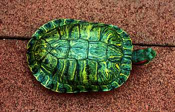 Red-Eared Slider, Trachemys scripta elegans by Michael J  Connor