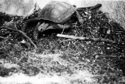 Figure 6: Female Manouria emys backsweeping debris onto nest mound