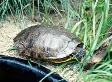 Red-eared Slider adult female basking