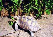 tortoise eating grape leaves from the vine