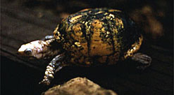 Male Yucatan box turtle