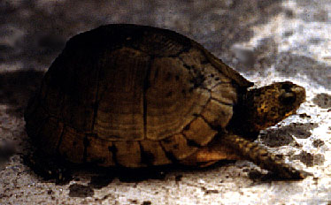 Female Yucatan box turtle